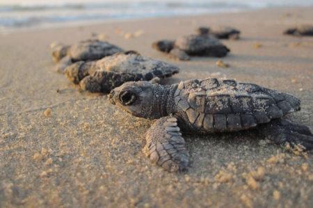 Rosa Marina, nate 50 tartarughe Caretta Caretta