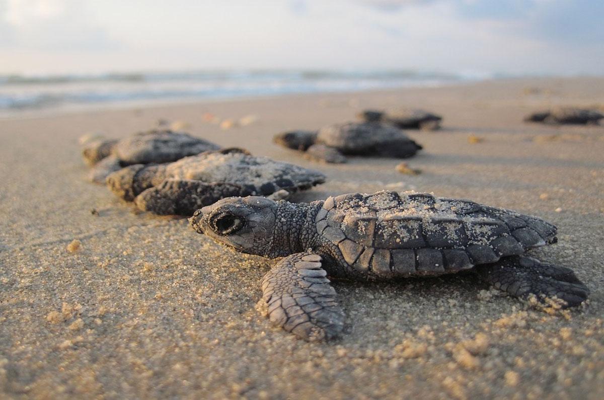 Porto Cesareo, nascita di nuove tartarughe