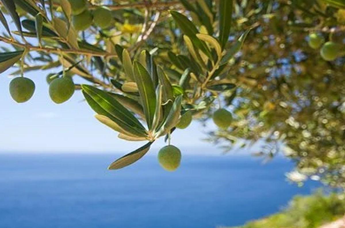 Salento, bando per rigenerazione ulivi