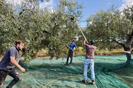 Hopeificio, raccolta di olive per inclusione socio-lavorativa