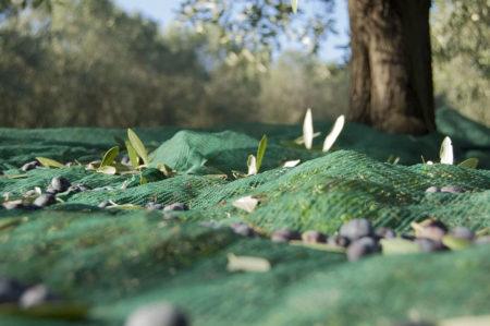 Giornata mondiale degli uliveti in Puglia