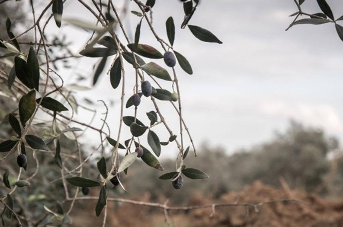 Xylella, fondi dalla Regione Puglia