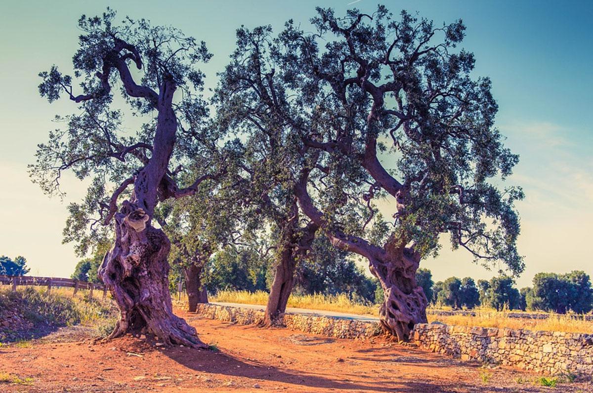 Ulivi della Puglia, regalo della dea Minerva alla regione