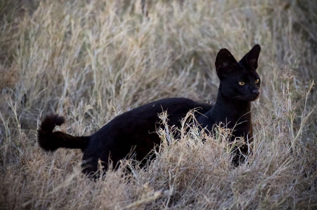 Nessuna pantera in Puglia: individuato serval nero con cucciolata