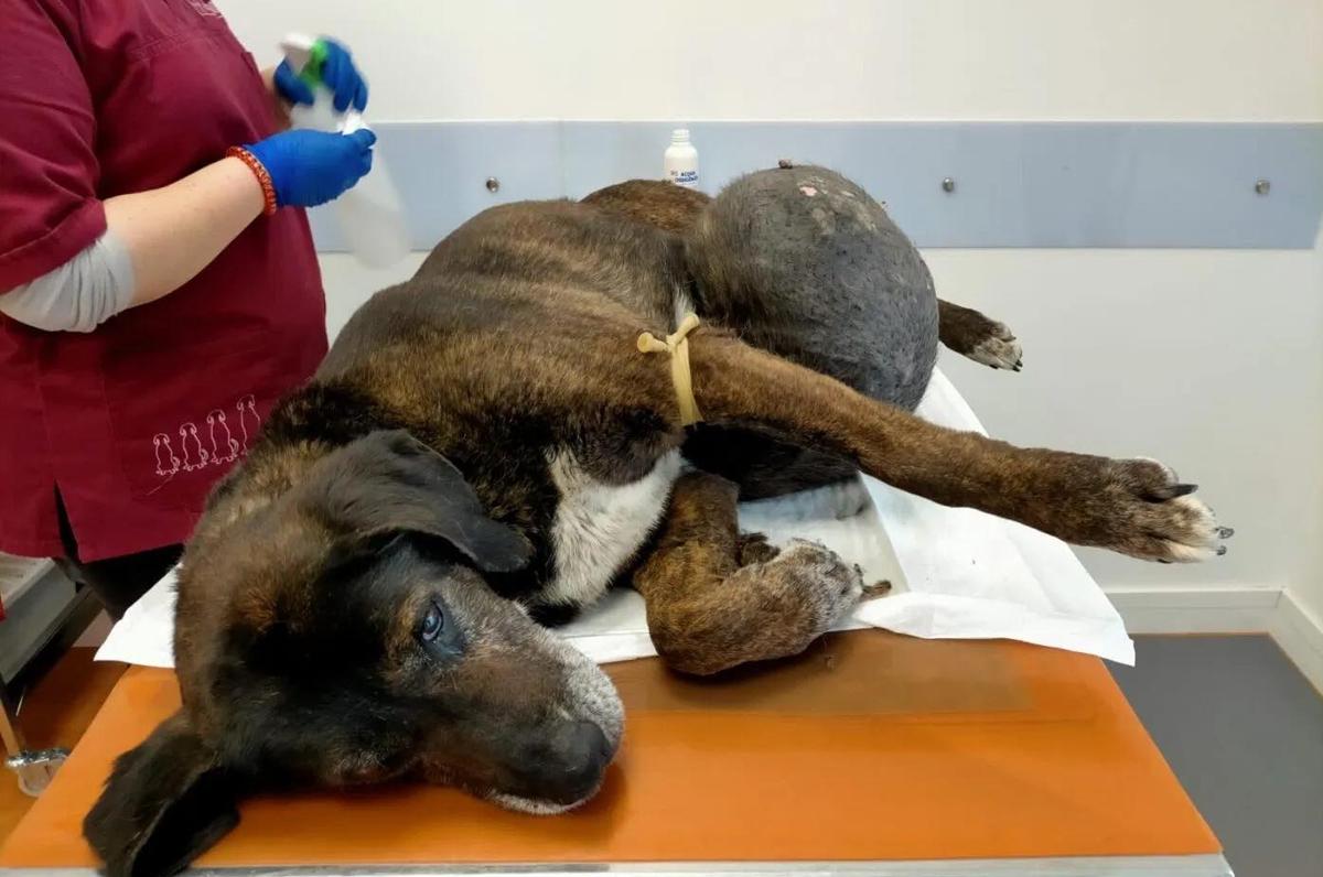 Rex, cane con tumore salvato a Foggia